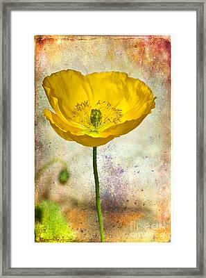 Yellow Icelandic Poppy And Texture Framed Print