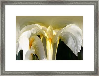 Yellow Iris 102 Framed Print