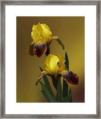 Yellow Iris Framed Print by Judy  Johnson