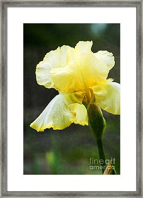 Yellow Iris Framed Print by Lee Craig