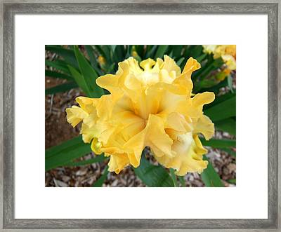 Yellow Iris Framed Print by Virginia Forbes