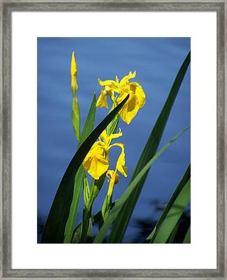 Yellow Irises Framed Print by Noreen HaCohen