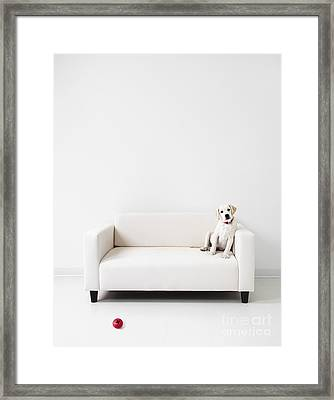 Yellow Lab In A White Room Framed Print by Diane Diederich