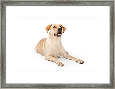 Yellow Lab Laying Down Framed Print by Susan Schmitz