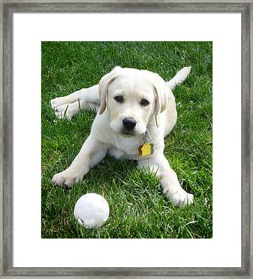 Yellow Lab Puppy Got A Ball Framed Print by Irina Sztukowski