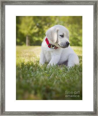 Yellow Lab Puppy In The Grass Framed Print