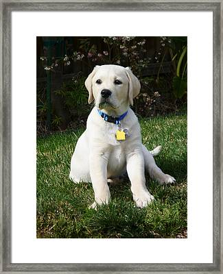 Yellow Lab Puppy Standing Guard  Framed Print by Irina Sztukowski