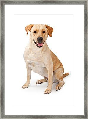 Yellow Lab Sitting Down  Framed Print by Susan Schmitz