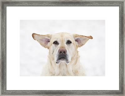 Yellow Labrador Retriever Dog With Framed Print by Ken Gillespie