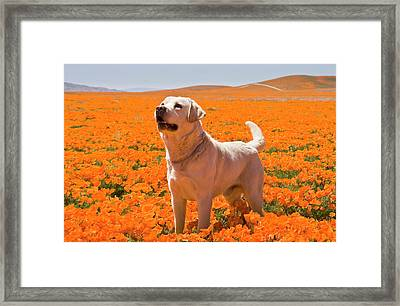 Yellow Labrador Retriever Standing Framed Print
