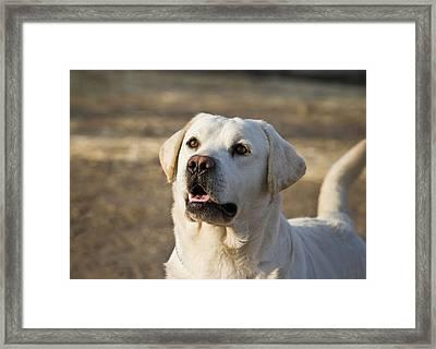 Yellow Labrador Retriever Waiting Framed Print by Zandria Muench Beraldo
