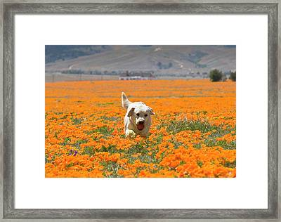 Yellow Labrador Retriever Walking Framed Print