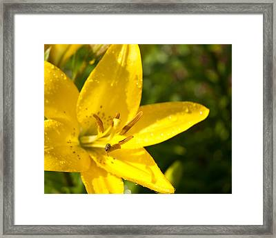 Yellow Ladybug Framed Print by Lena Wilhite