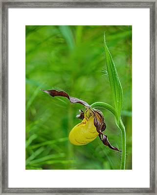 Yellow Lady's Slipper Framed Print by Jim Zablotny