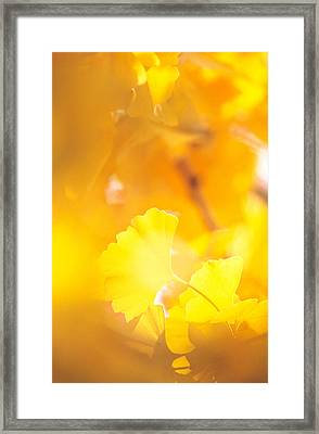 Yellow Leaves, Autumn, Backlit Framed Print