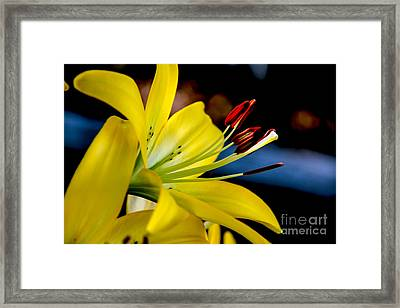 Yellow Lily Anthers Framed Print by Robert Bales
