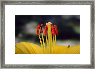 Framed Print featuring the photograph Yellow Lily by Glenn DiPaola