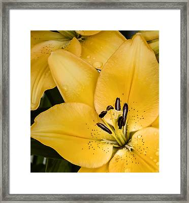 Yellow Lily Framed Print by Scott Norris