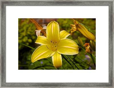 Yellow Lily Framed Print by Terry Horstman