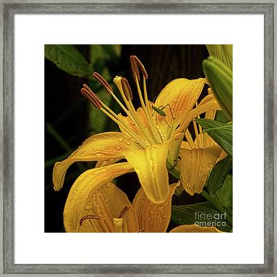 Framed Print featuring the photograph Yellow Lily With Bug by Michael Flood
