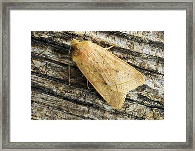 Yellow Line Quaker Moth Framed Print by David Aubrey