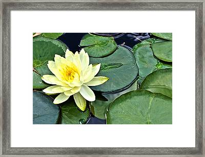 Yellow Lotus - Botanical Art By Sharon Cummings Framed Print by Sharon Cummings