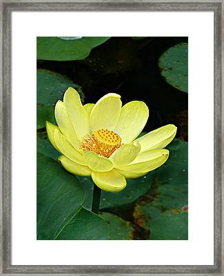Yellow Lotus Framed Print