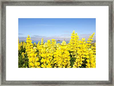 Yellow Lupines In A Field, Del Norte Framed Print by Panoramic Images