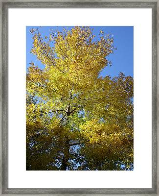 Yellow Maple Tree Framed Print by Michel Mata