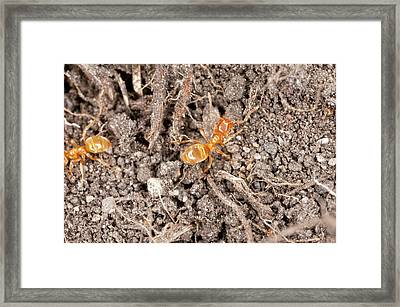 Yellow Meadow Ants Framed Print by Bob Gibbons