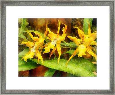 Yellow Miltassia Orchids Framed Print by Susan Savad