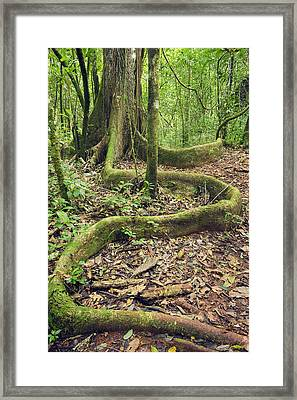 Yellow Mombin Buttress Root Los Framed Print