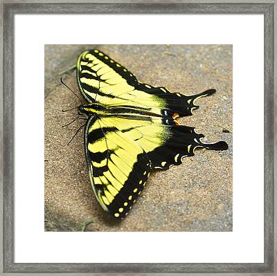 Yellow Monarch Butterfly Framed Print