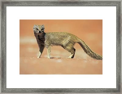 Yellow Mongoose In Kalahari Desert Framed Print