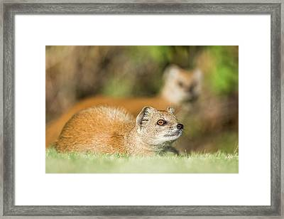 Yellow Mongoose Framed Print by Peter Chadwick/science Photo Library