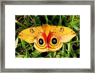 Yellow Moth Framed Print