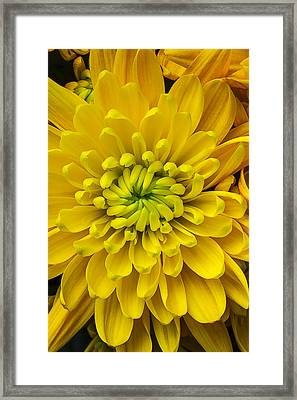 Yellow Mum Framed Print by Garry Gay