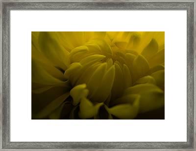 Yellow Mum Framed Print