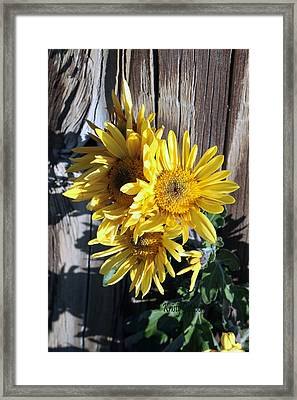 Yellow Mum Framed Print