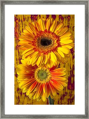 Yellow Mums Together Framed Print by Garry Gay