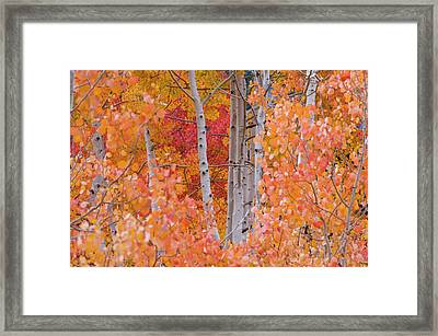Yellow, Orange, And Red Aspens, Little Framed Print