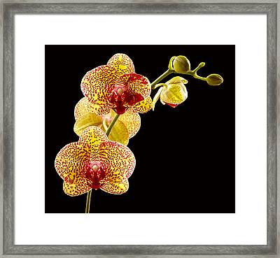 Yellow Orchid Framed Print by Jean Noren