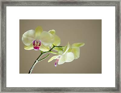 Yellow Orchids Framed Print by Ben Spencer