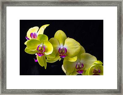Yellow Orchids Framed Print by Garry Gay