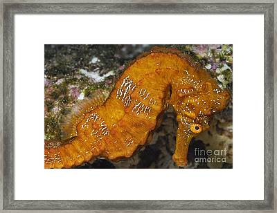 Yellow Pacific Seahorse Framed Print by Sami Sarkis