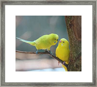 Yellow Parakeet Pair Framed Print by Cathy Lindsey