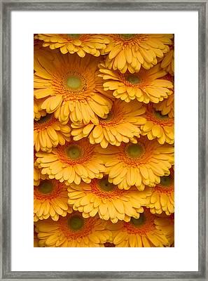 Yellow Peach Gerbera. Amsterdam Flower Market Framed Print