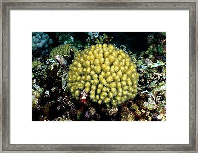 Yellow Pencil Coral Madracis Mirabilis Framed Print by Andrew J. Martinez