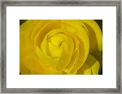 Yellow Peony Framed Print by Sharin Gabl