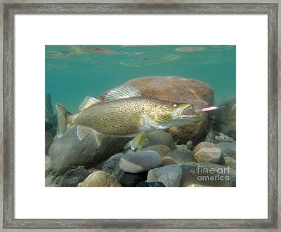 Yellow Pickerel And Dardevle Framed Print